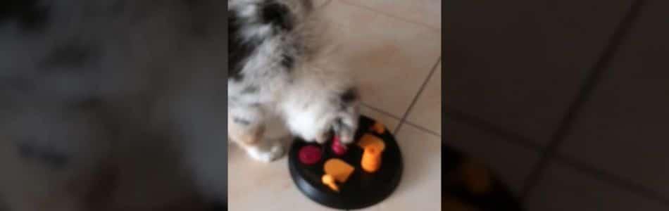 Josie-Brego-Welpen-Havanna-Intelligenzspielzeug-Beitragsbild.jpg