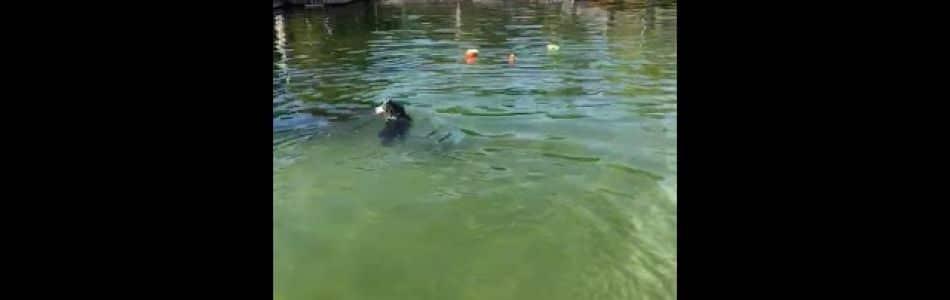 Josie-Brego-Welpen-Miro-beim-Dog-Diving-im-Freibad-Beitragsbild.jpg